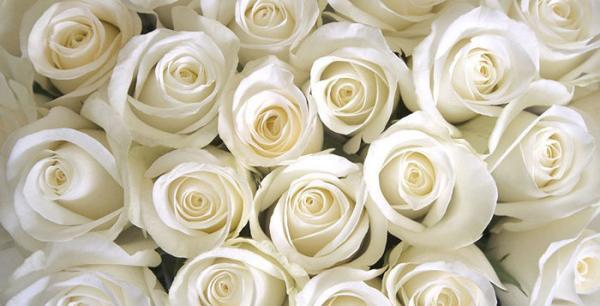 گالری عکس گل رز سفید؛ عکس هایی فوق العاده زیبا و با کیفیت